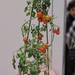 「おうち畑」プチトマト。