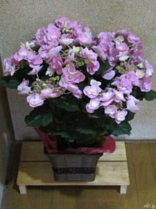 「イイハナ・ドットコム」で購入した『鉢植え「アジサイ フェアリーアイ」』