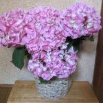 hibiyakadan.comの花鉢『母の日 アジサイ「ペガサス」』