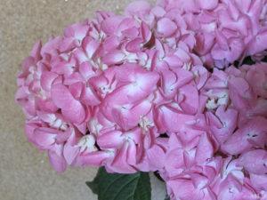 hibiyakadan.comの花鉢『母の日 アジサイ「ペガサス」』(花のアップ)